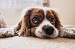 Saugroboter kaufen - Hund